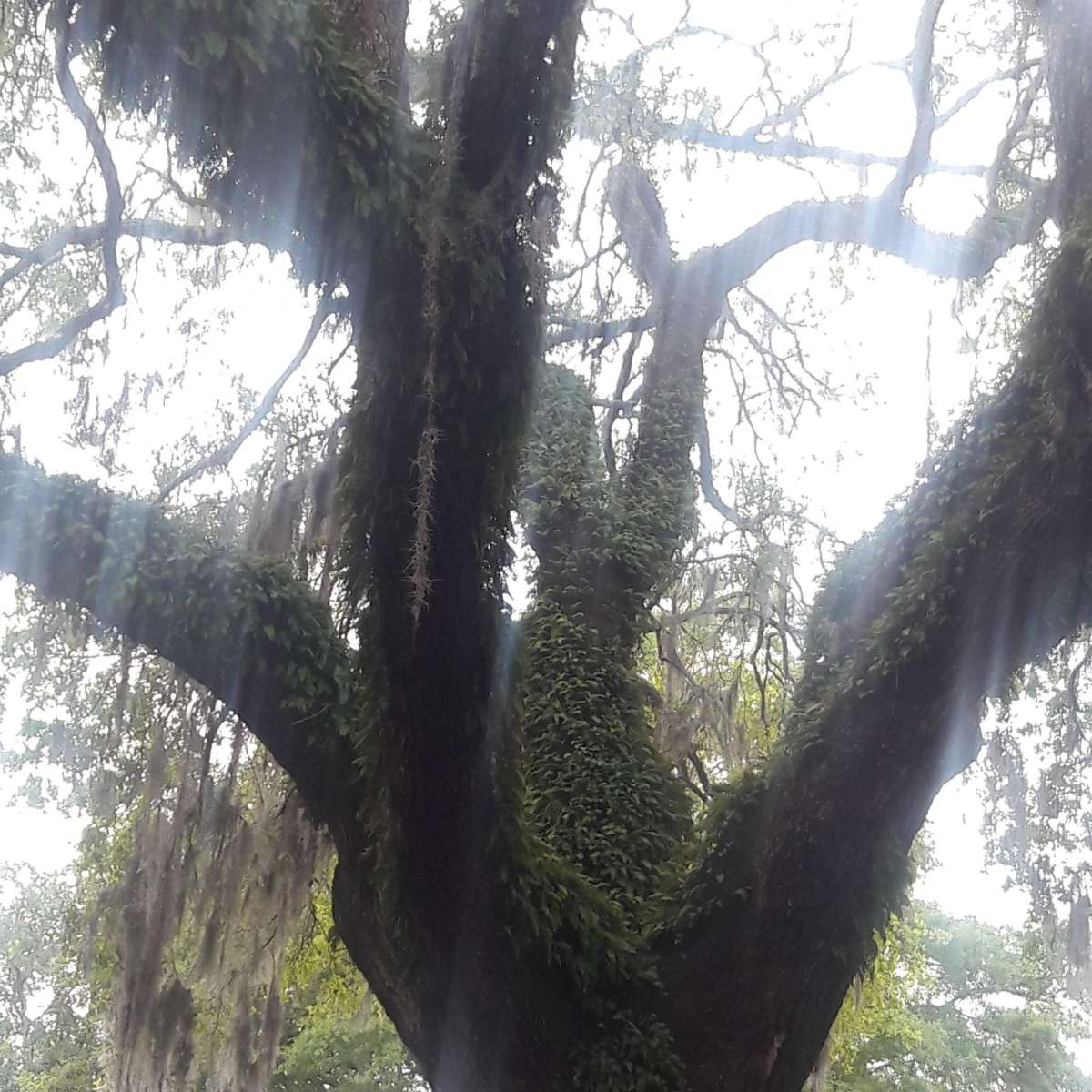 Ancient Live Oak Trees – Appreciating Charleston